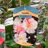 Camellia 'Lady Vansittart' - 3ltr pot
