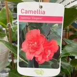 Camellia Elegans - 3ltr pot
