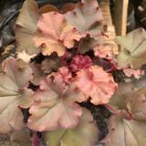 Heuchera 'Boysenberry - 15cm pot