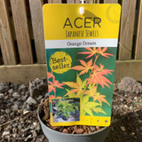 Acer palmatum 'Orange Dream' - 1ft