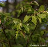 Carpinus betulus (Hornbeam) - Standard (18/20cm girth)