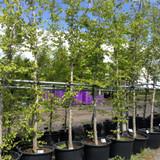Carpinus betulus (Hornbeam) - Std (18/20cm)