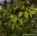 Carpinus betulus (Hornbeam) - Feathered (14-16cm girth)