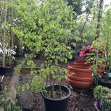 Carpinus betulus (Hornbeam) Multi-stem 150cm