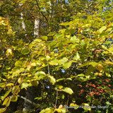 Fagus sylvatica (Green Beech) 16/18cm Feathered