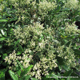 Ligustrum japonicum (Japanese Privet) 18/20cm Standard