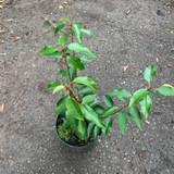 Prunus lusitanica 'Angustifolia (Portuguese Laurel) - 2L