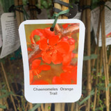 Chaenomeles 'Orange Trail'