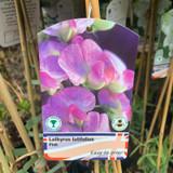 Lathyrus lat. Pink (perennial sweet pea)