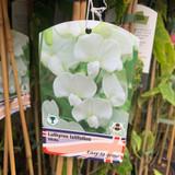 Lathyrus lat. White (perennial sweet pea)