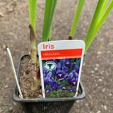 Iris ret. (sq pot)