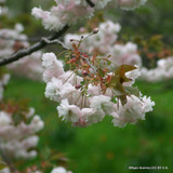 Prunus 'Shirofugen' (Flowering Cherry) - 150/175cm