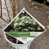 Hydrangea 'Lime Rickey'