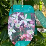 Clematis armandii -  'Apple Blossom'