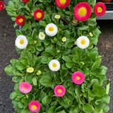 Bellis Individual plant
