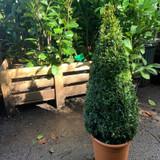 "Box Cone 100cm (Buxus sempervirens)"""