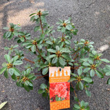 Azalea japonica 'Orange'