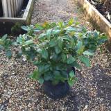 Viburnum tinus - 5ltr