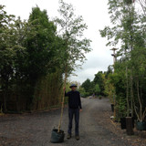 Betula pendula (Silver Birch) - 10/12cm