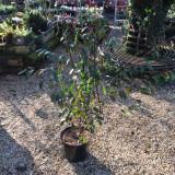 Cotoneaster cornubia - 60/80cm 10ltr shrub