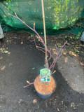 Cornus controversa Variegata (Wedding cake tree) 4ltr