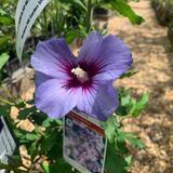 Hibiscus 'Blue Bird' - 2ltr pot