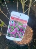Syringa meyeri 'Palibin' (Lilac) - 3ltr