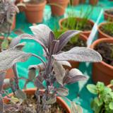 Sage Purple (14.5cm)