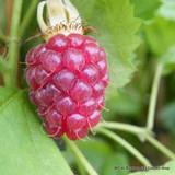 Loganberry - 2ltr pot