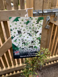 Clematis 'Early Sensation' - 7ltr