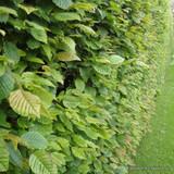 Carpinus betulus (Hornbeam) 90-120cm