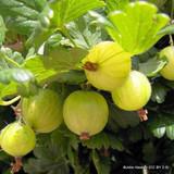 Gooseberry 'Invicta' - 3ltr pot