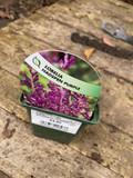 Lobelia 'Hadspen Purple' 9cm