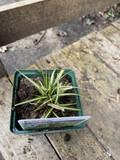 Carex oshimensis 'Evergold' (Grass)