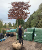Pleached Beech Tree 20/25cm girth, 2m stem (Fagus sylvatica)