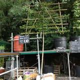 Pleached Hornbeam Tree 12/14cm girth, 1.8m stem (Carpinus betulus)