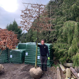 Pleached Hornbeam Tree 16/18cm girth, 2m stem (Carpinus betulus)