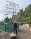 Pleached Parrotia persica Tree 18/20cm girth, 1.8m stem (Persian Ironwood)
