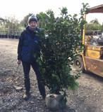 Prunus laur. 'Etna' (Cherry Laurel) 175-200cm