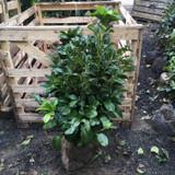 Prunus laur. 'Etna' (Cherry Laurel) 80-100cm