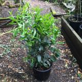 Prunus laur. 'Genolia' (Cherry Laurel) 100-125cm