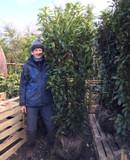 Prunus laur. 'Genolia' (Cherry Laurel) 175-200cm