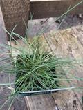 Festuca glauca 'Intense Blue' (Grass) - 9cm
