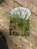 Festuca glauca 'Elijah Blue' (Grass) - 9cm