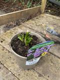 Allium 'Summer Beauty' 1.5ltr