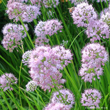Allium 'Summer Beauty' 1.5ltr