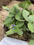 Brunnera macrophylla - 2ltr