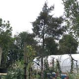 Cupressus arizonica 'Fastigiata Glauca' - 200/250cm standard