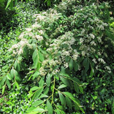 Cotoneaster 'Rothschildianus' - 3ltr