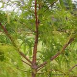 Metasequoia glypt. 'Chubby' (Dwarf Dawn Redwood) - 120/150cm